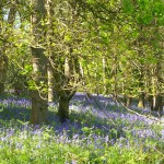 Bluebell woods in April at the Forest of Dean